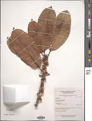Ficus albert-smithii Standl. in A.C. Sm.
