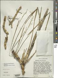 Arundinaria tecta (Walter) Muhl.