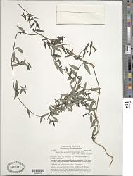 Manettia secundiflora (Poir.) DC.