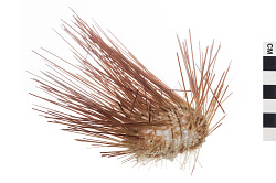 Black Longspine Sea Urchin
