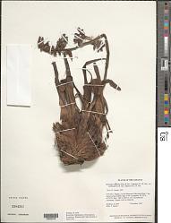 Racinaea tetrantha var. caribaea (L.B. Sm.) M.A. Spencer & L.B. Sm.