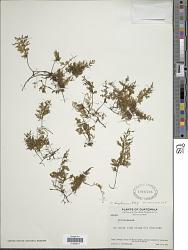 Polyphlebium diaphanum (H.B.K.) Ebihara & Dubuisson