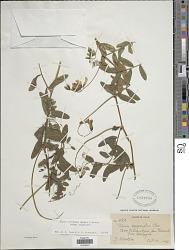 Vicia nigricans Hook. & Arn.