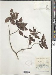 Psychotria nematopoda F. Muell.