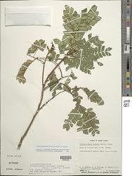 Abarema jupunba (Willd.) Britton & Killip
