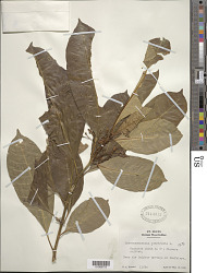 Tabernaemontana citrifolia L.