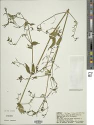 Peristrophe bicalyculata (Retz.) Nees
