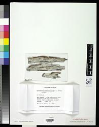 Ditremis macrospora R.C. Harris