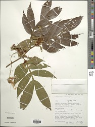 Inga ingoides (Rich.) Willd.