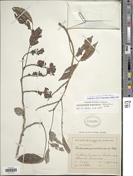 Lonchocarpus acuminatus (Schltdl.) M. Sousa