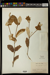 Croton farinosus Lam.