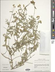 Perymenium parvifolium A. Gray