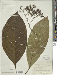 Tournefortia filiflora Griseb.
