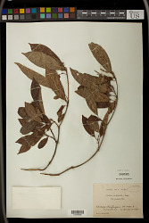 Croton nitidulus Baker