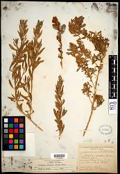 Atriplex canescens (Pursh) Nutt.