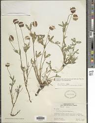 Trifolium eriocephalum Nutt.