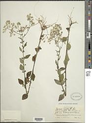 Cyanthillium cinereum (L.) H. Rob.