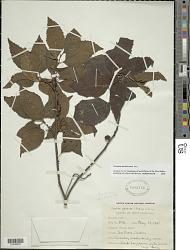 Varronia martinicensis Jacq.