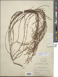 Polygonum prolificum (Small) B.L. Rob.