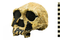 KNM-ER 3733, Early Human, Fossil Hominid