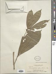 Myrmeconauclea strigosa (Korth.) Merr.