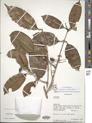 Noronhia pervilleana (Knobl.) H. Perrier