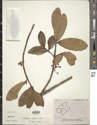 Calophyllum apetalum sensu Blanco non Willd.