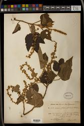 Croton goudotii Baill.