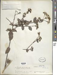 Rondeletia odorata subsp. bullata Fernández & P. Herrera