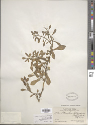 Alternanthera bettzickiana (Regel) G. Nicholson