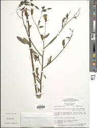 Porophyllum ruderale subsp. ruderale (Jacq.) Cass.