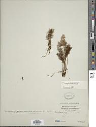 Abrodictyum meifolium (Bory) Ebihara & K. Iwats.