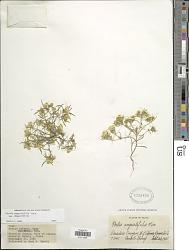 Pectis angustifolia Torr.