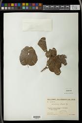 Alchornea trewioides (Benth.) Müll. Arg.
