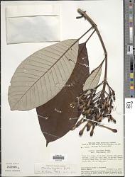 Isertia hypoleuca Benth.
