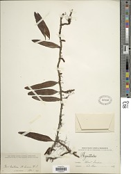 Microgramma lycopodioides (L.) Copel.
