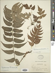 Cyrtomium fortunei J. Sm.