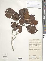 Nauclea tenuiflora (Havil.) Merr.