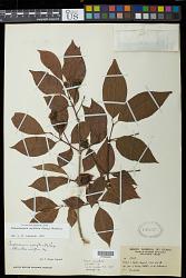 Campomanesia neriiflora (O. Berg) Nied.