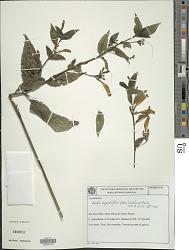 Ruellia angustiflora (Nees) Lindau ex Rambo