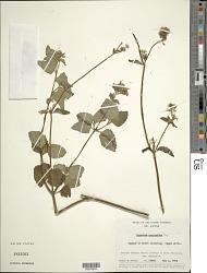 Ageratum conyzoides L.