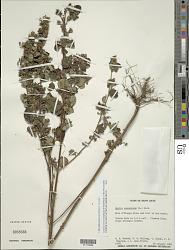 Mesosphaerum suaveolens (L.) Kuntze