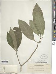 Psychotria membranifolia Bartl. ex A. DC.