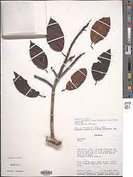 Ficus maitin Pittier