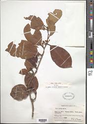 Ilex nitida (Vahl) Maxim. f. nitida