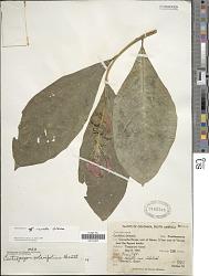 Centropogon curvatus Gleason