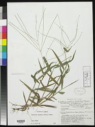 Digitaria horizontalis Willd.