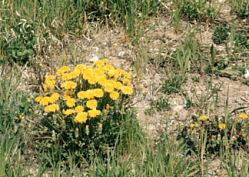 Taraxacum officinale Weber