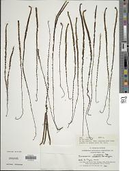 Jamesonia scalaris Kunze