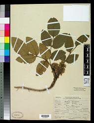 Mahonia aquifolium Nutt.